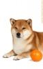 Очаровательные щенки сиба (шиба ину) от титулованных родител